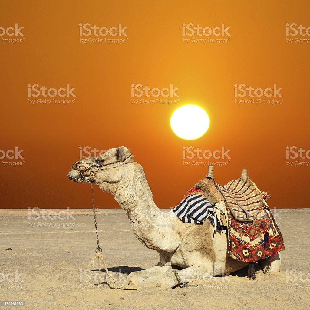 camel sits stock photo