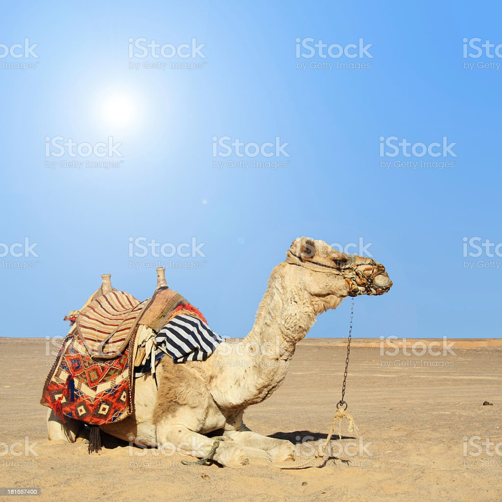 Camel sitting down on a hot day in desert royalty-free stock photo