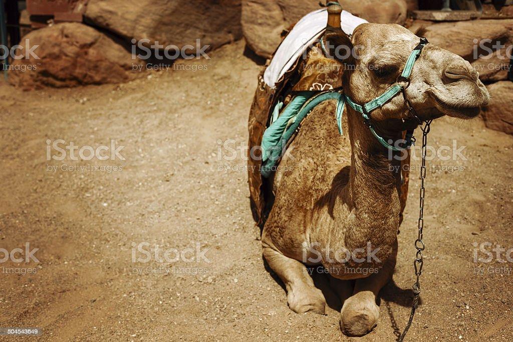 Camel sitting on a desert land royalty-free stock photo