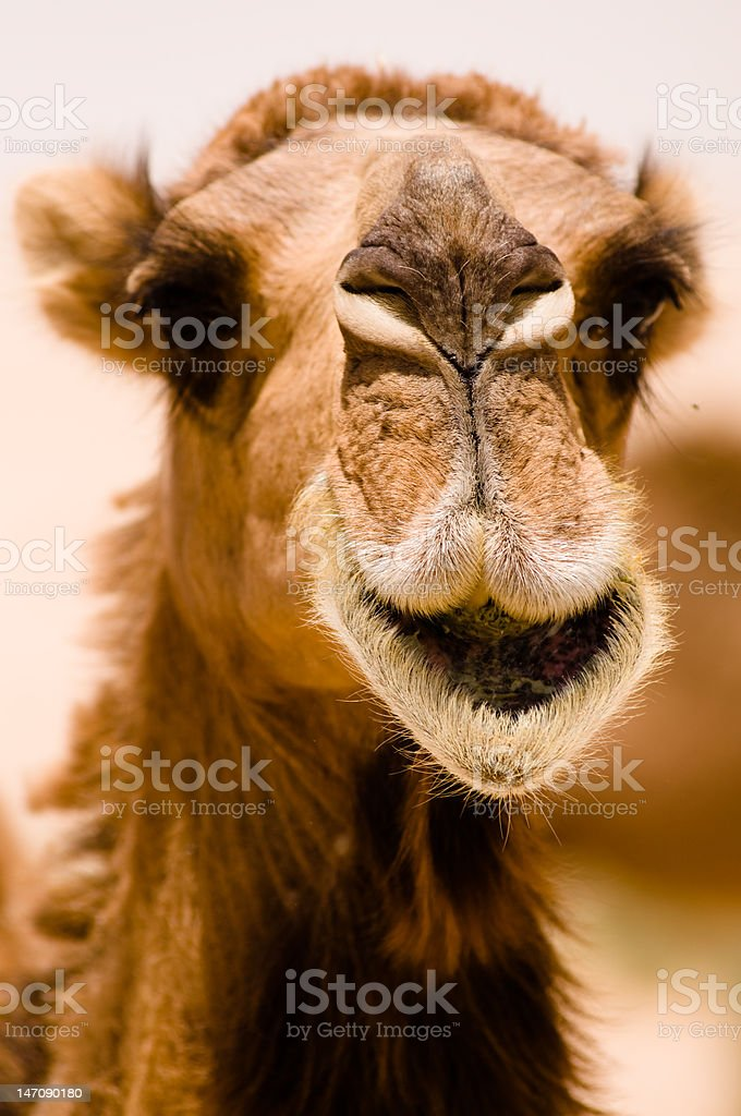 Camel Smile stock photo