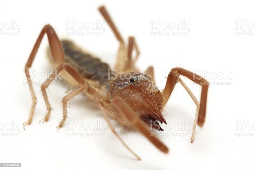 camel spider royalty-free stock photo