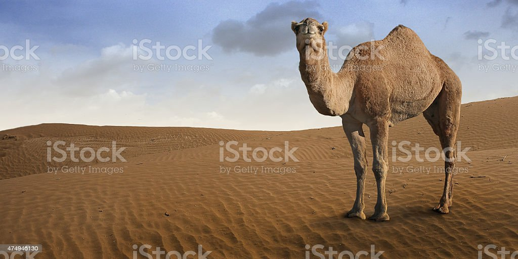 Camel standing in front of the desert. stock photo