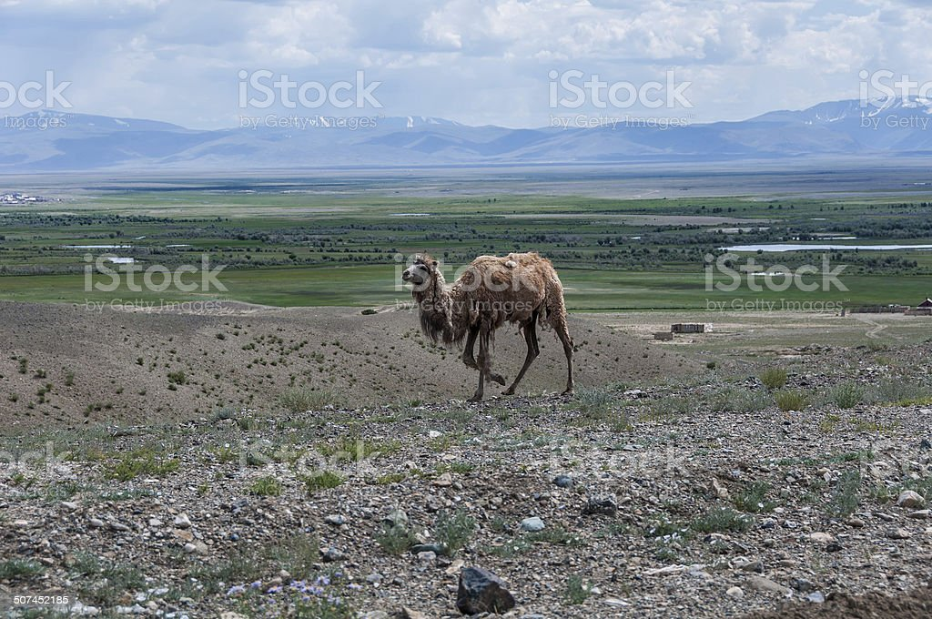 camel steppe mountain royalty-free stock photo