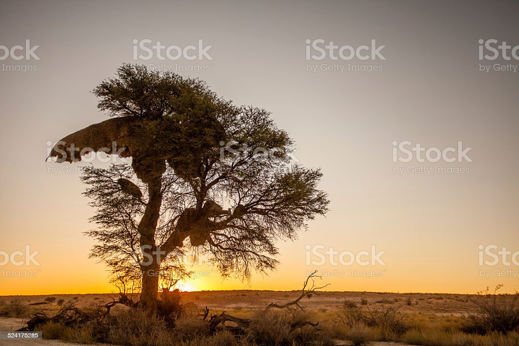 Camel thorn tree in Africa at sunset stock photo