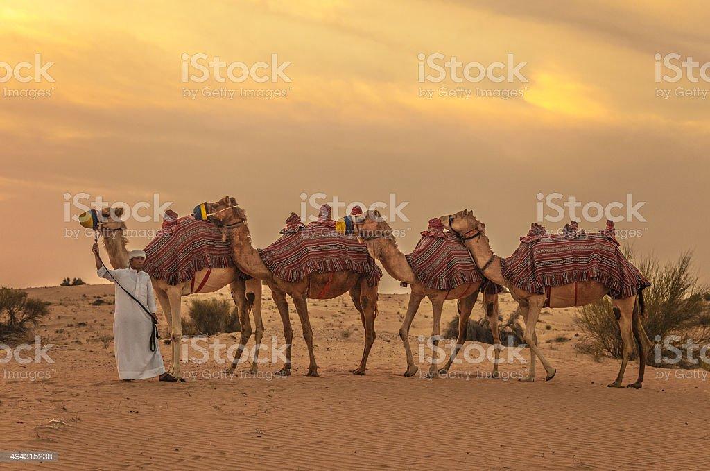 Camel train and herder in desert sunrise stock photo