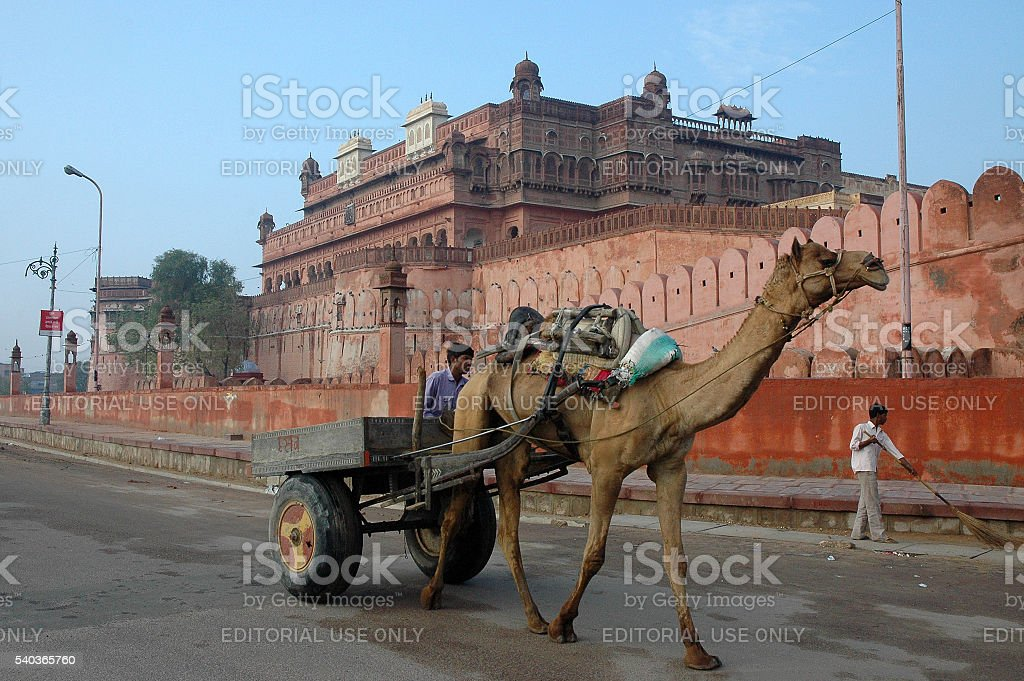 Camel transportation in Bikaner stock photo