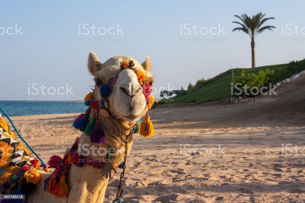 Camel under palms stock photo