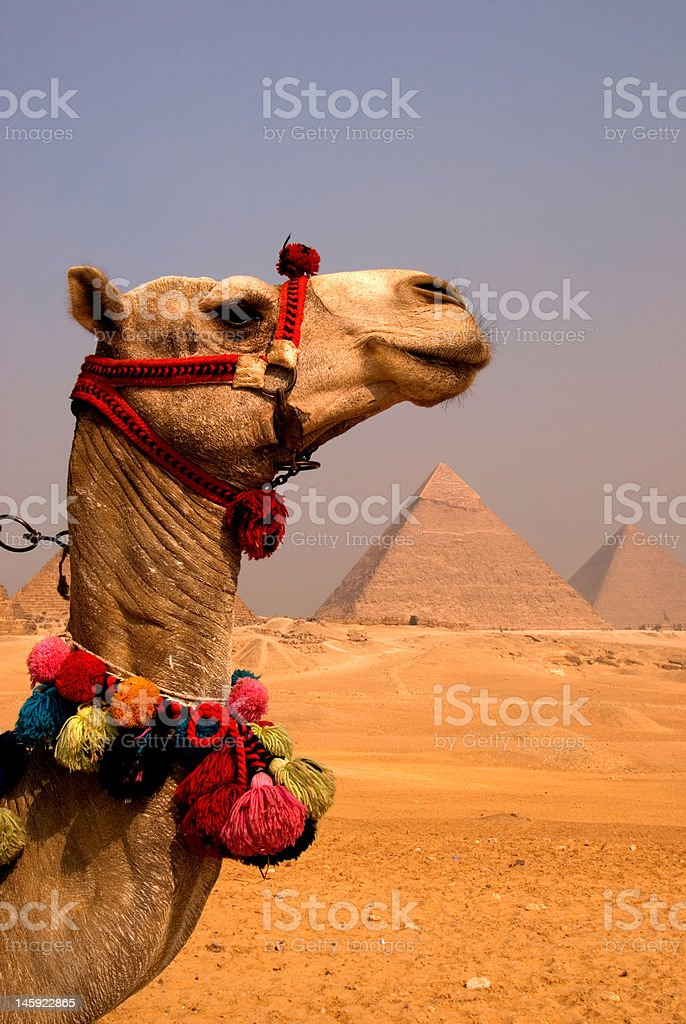 Camel view of the Pyramids royalty-free stock photo