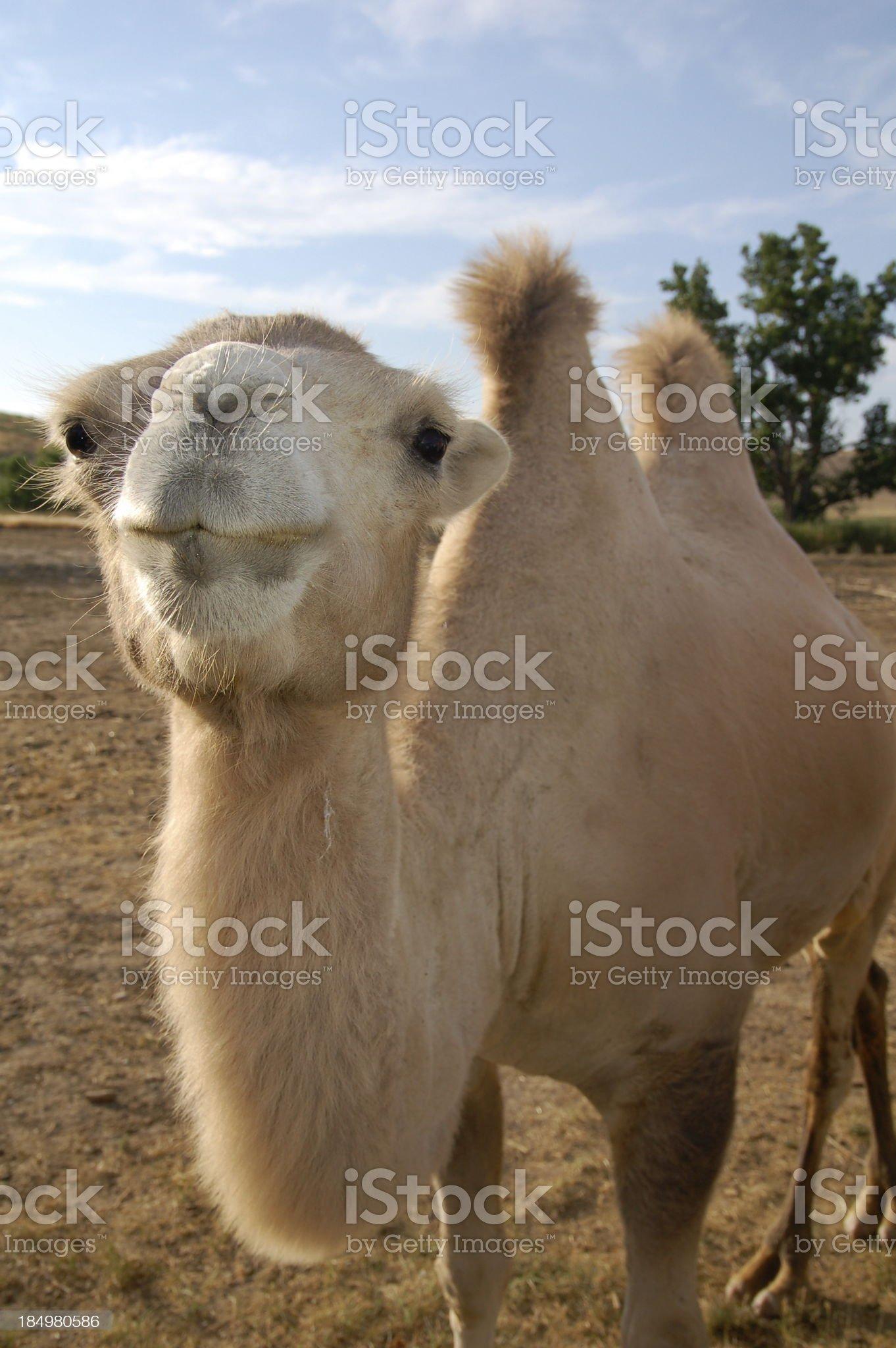 Camel Visit royalty-free stock photo
