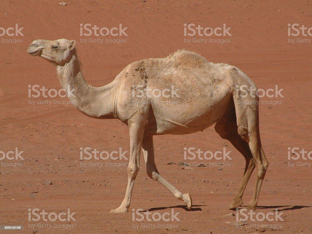 Camel, Wadi Rum, Jordan royalty-free stock photo