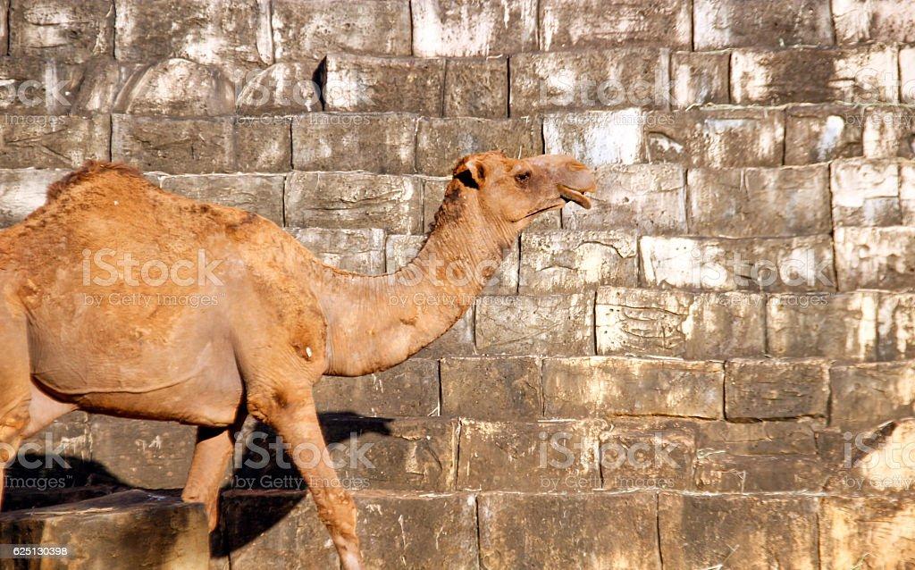 camel walking front of brick wall stock photo