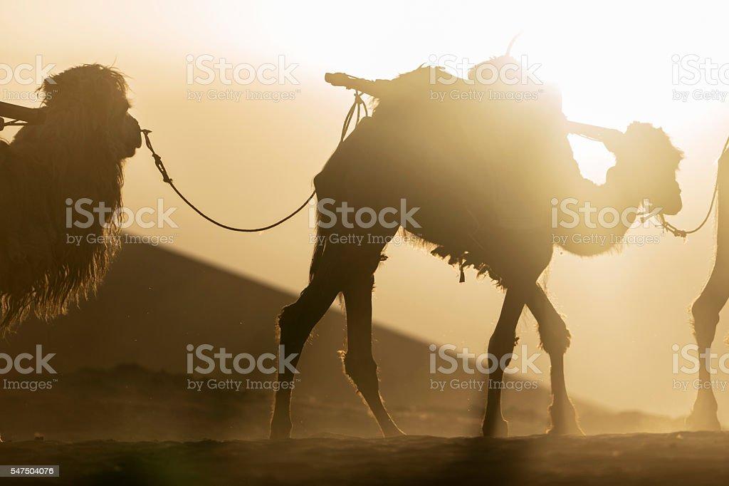 camel walking on desert at sunset stock photo