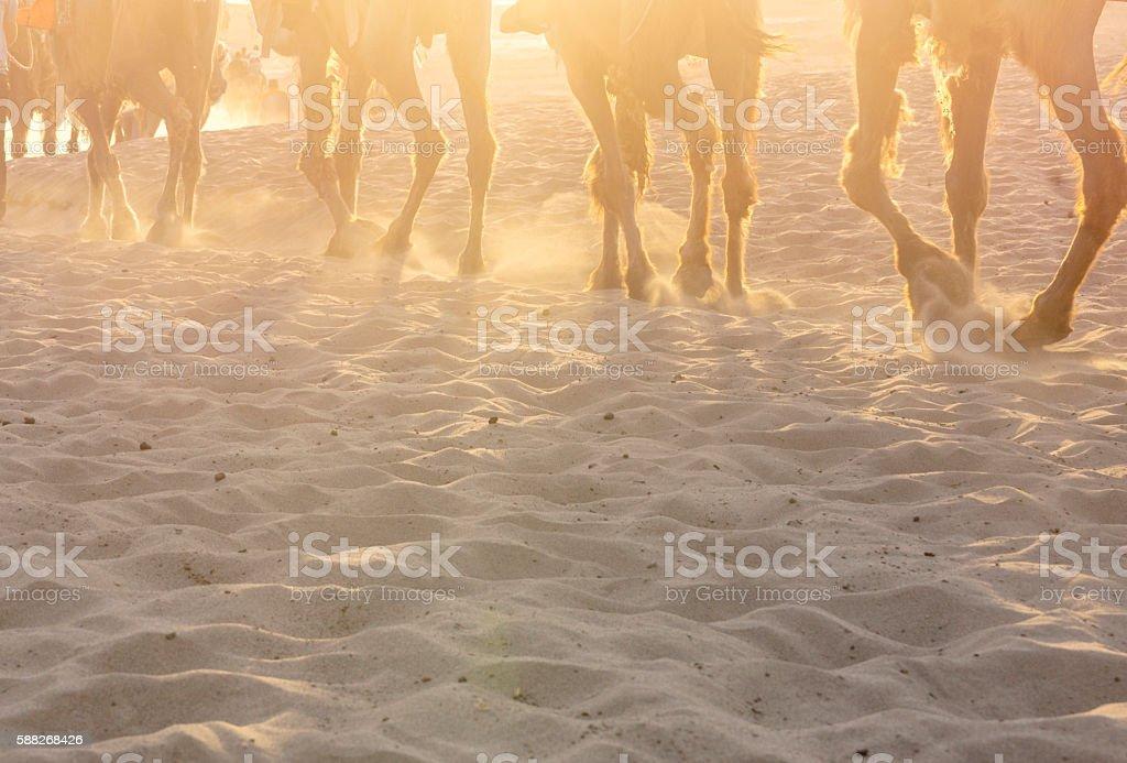 camel walking on desert in sunlight stock photo