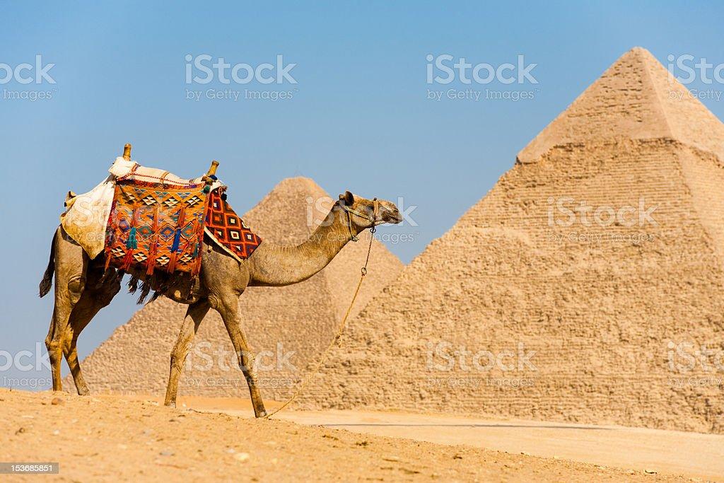 Camel Walking Pyramids royalty-free stock photo