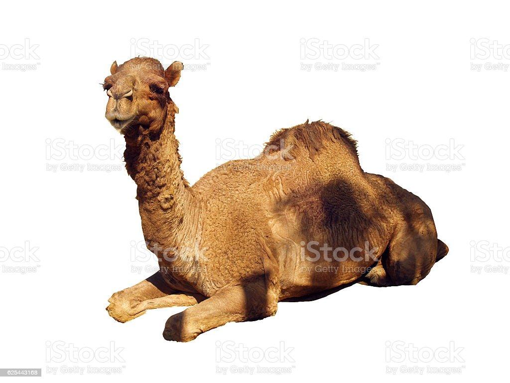 Camel White BG stock photo