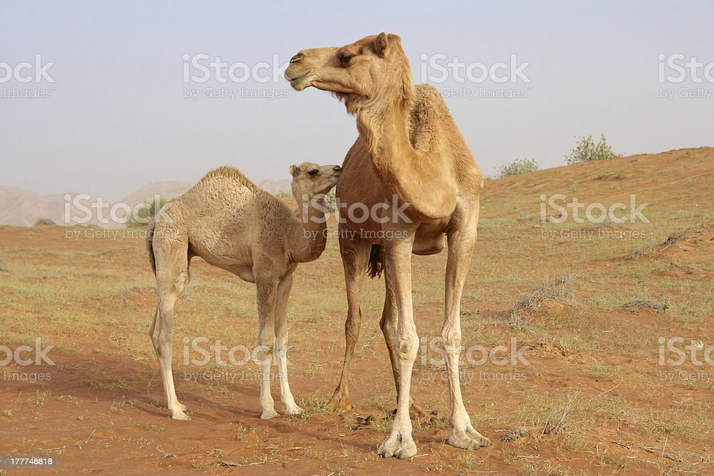 Camel with Calf royalty-free stock photo