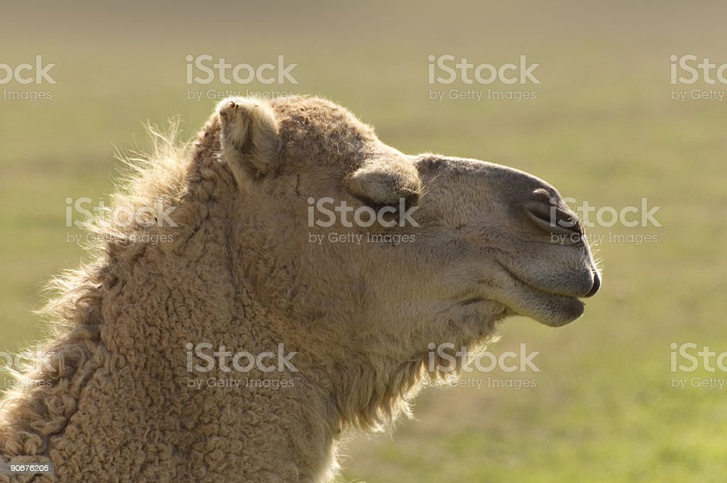 Camel with closed eyes royalty-free stock photo