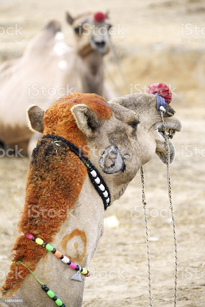 camel with dyed hair stock photo