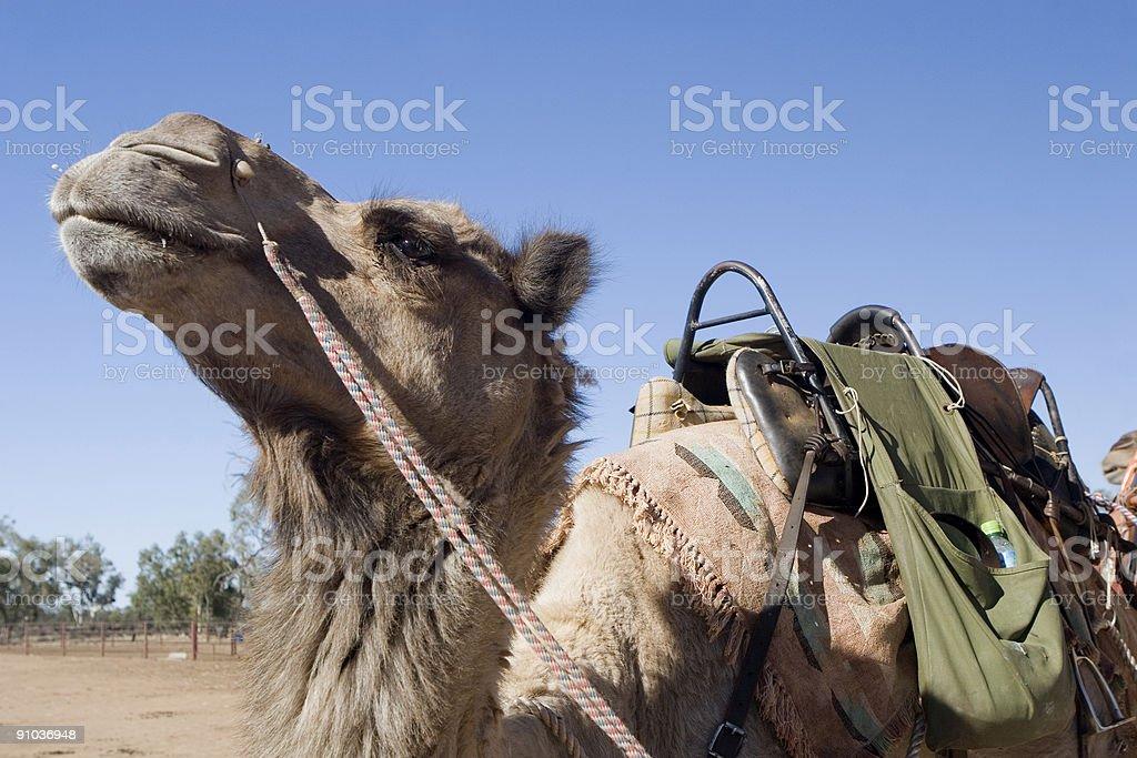Camel with saddle royalty-free stock photo