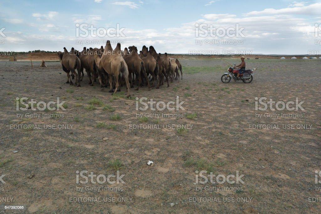 Camel Wrangler in the Gobi Desert stock photo