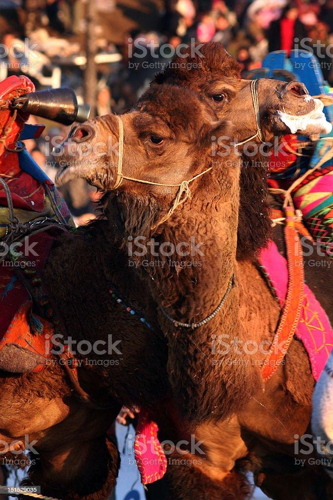 Luta de camelo foto royalty-free