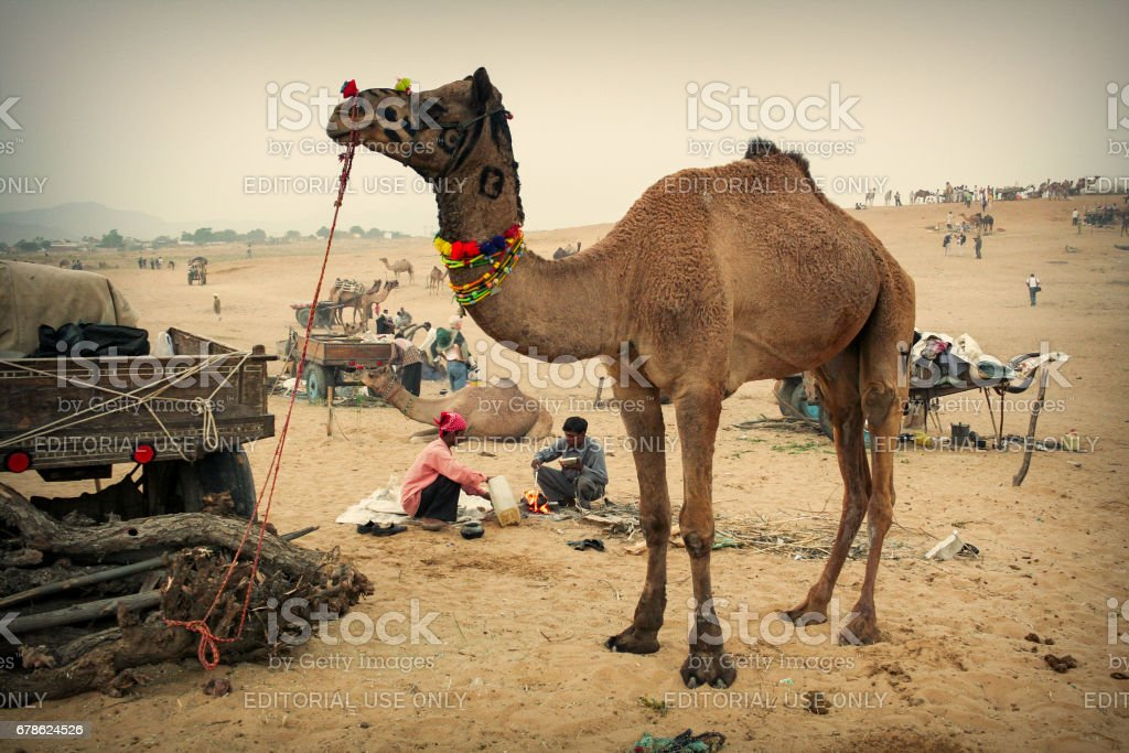 Cameleers and camels near their wagon carts on a typical day at Pushkar Camel Fair stock photo