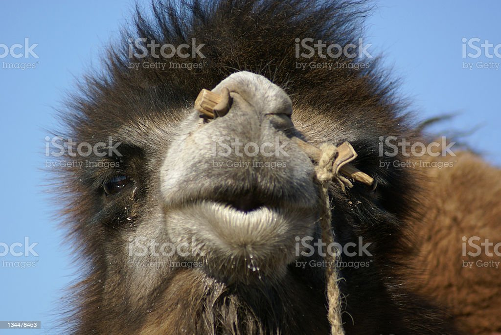 camelface stock photo