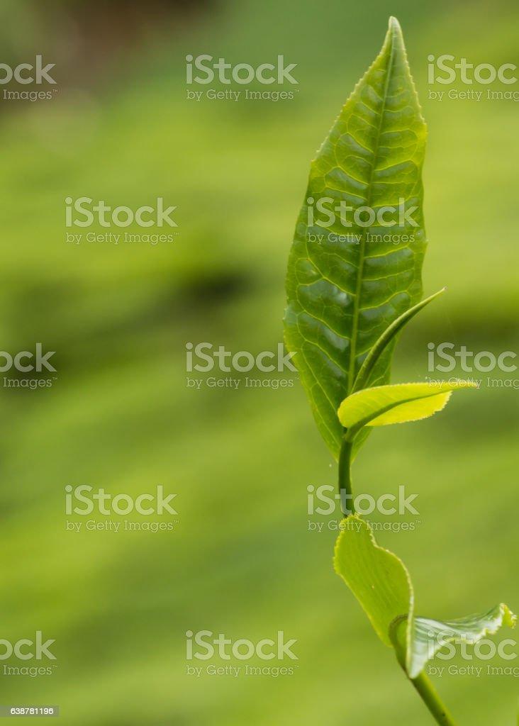Camellia branch stock photo
