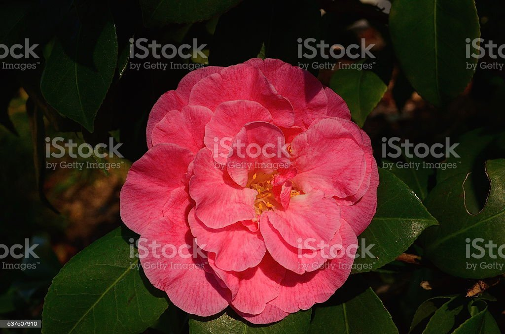 Camellia Flower at Balboa Park stock photo