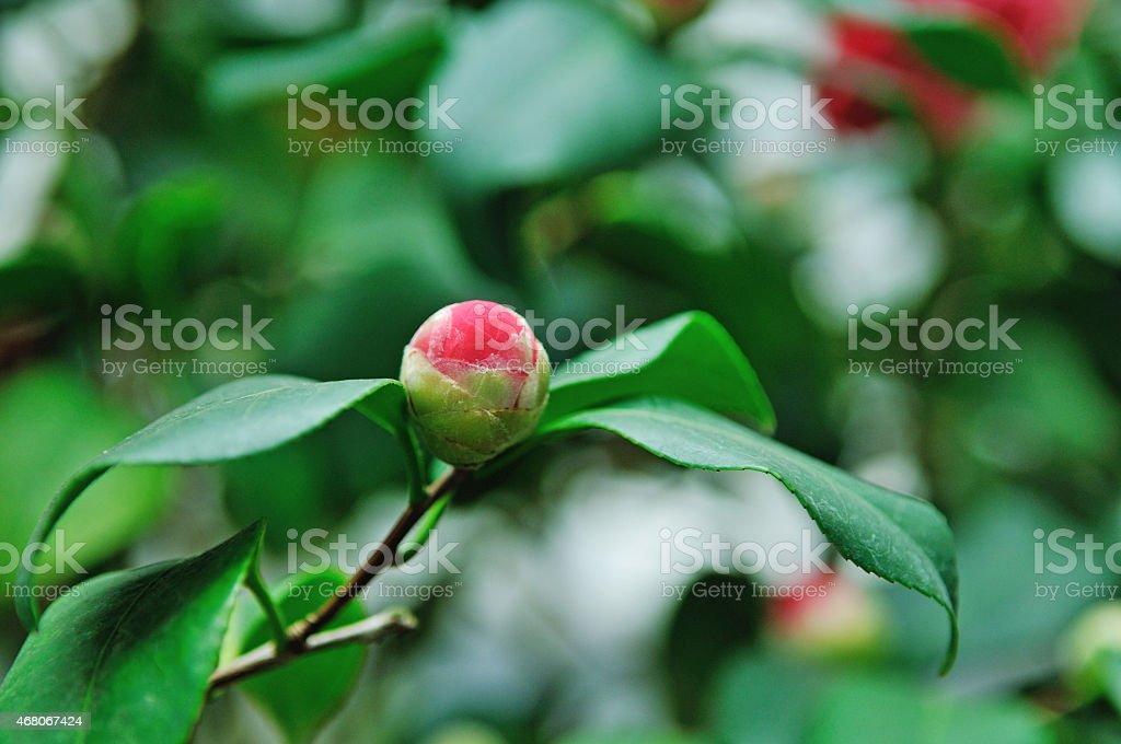 Camellia flower head stock photo