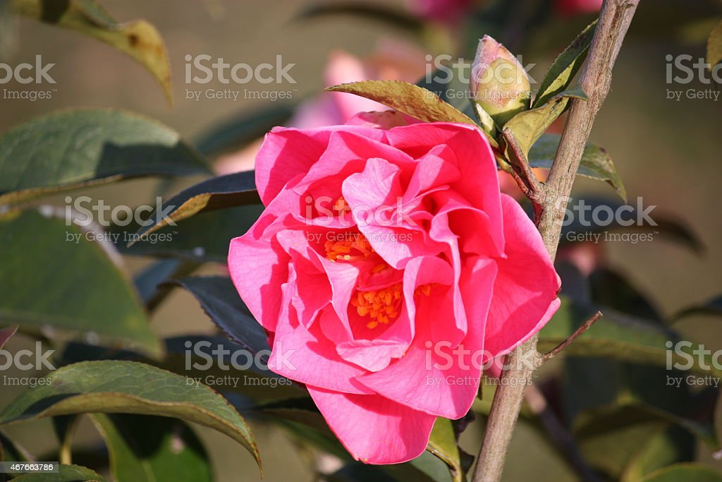 Camellia in spring, Pink filled camellia petal stock photo