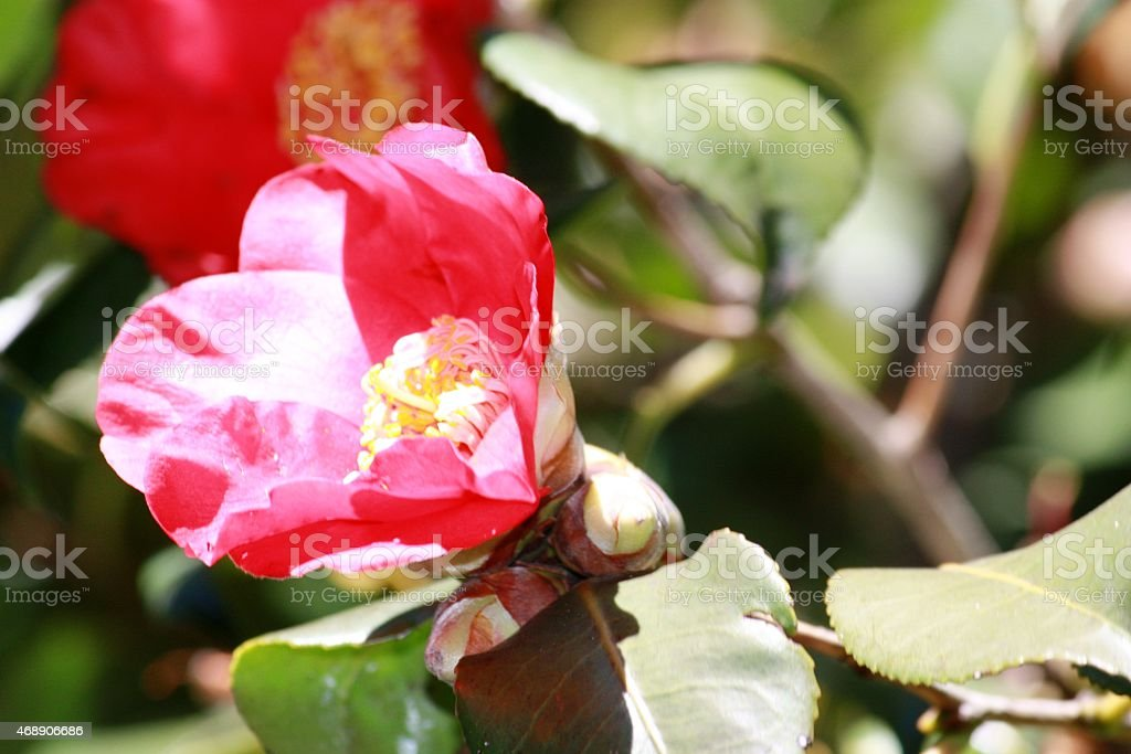 Camellia in spring, Red unfilled camellia petal stock photo