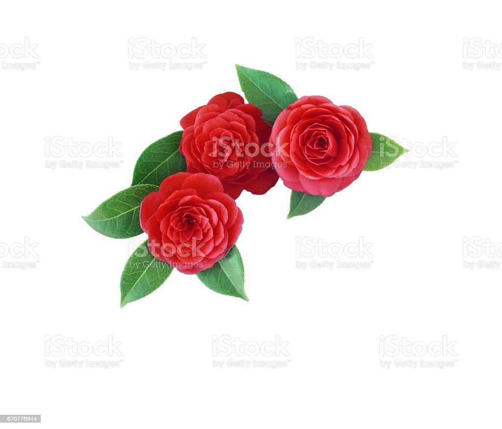 Camellia, isolated on white background. Spring Japanese flower with a saturated red color. Bouquet of red camellia all elements are isolated and editable. Camellia brooch, sticker, patch stock photo