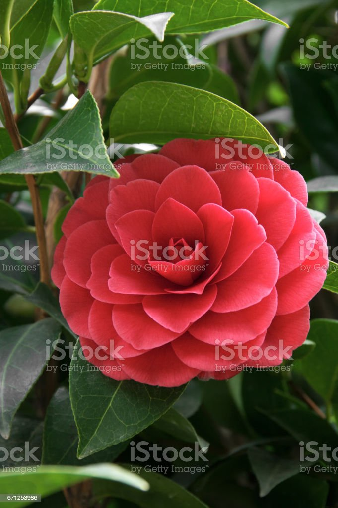 Camellia japonica flower stock photo