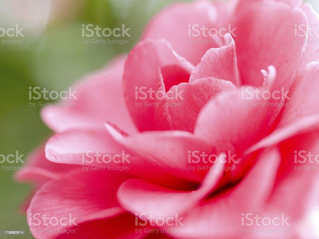 camellia Japonica stock photo