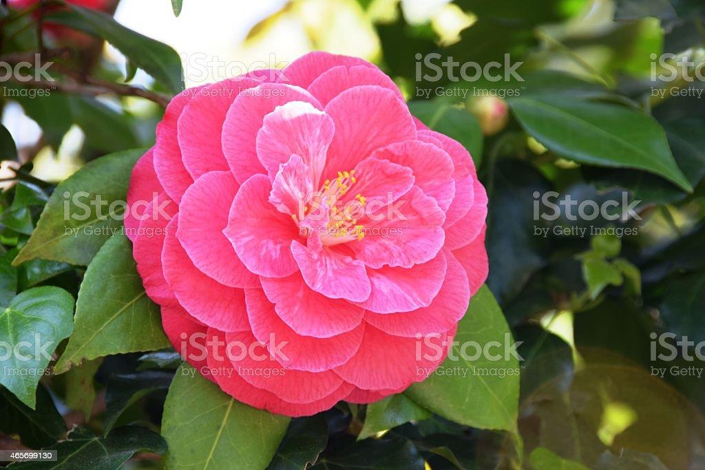 Camellia, magenta, light pink, spring, green background stock photo