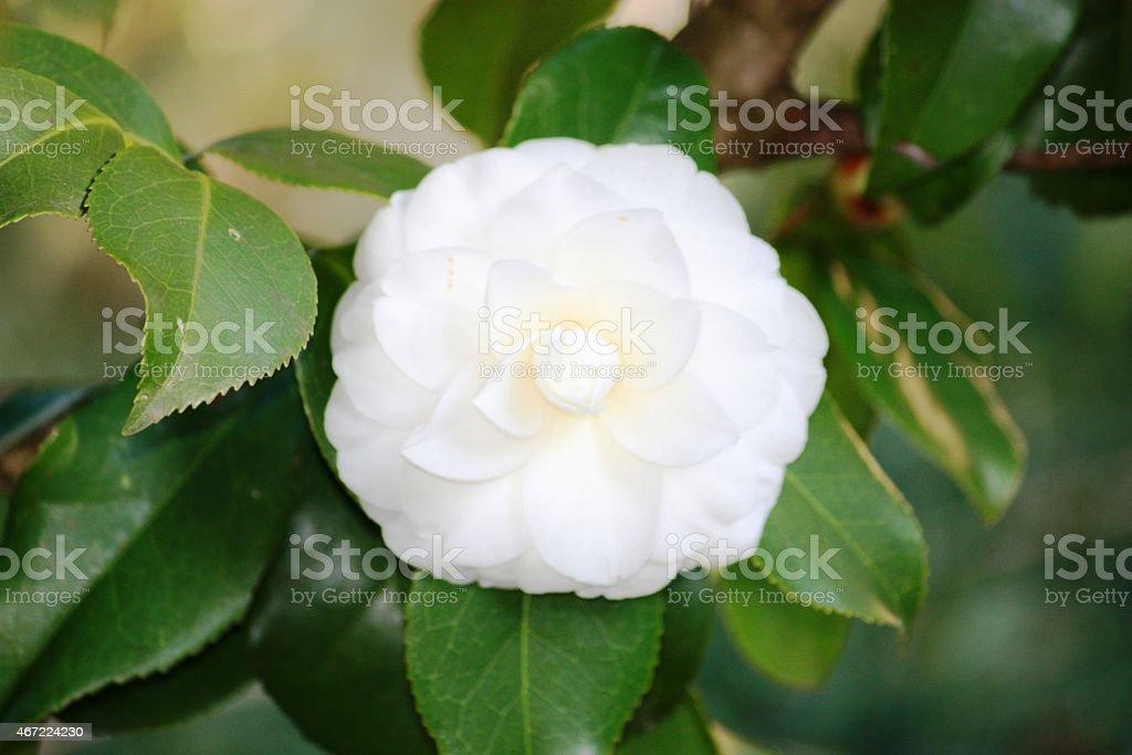 Camellia white petal in spring stock photo