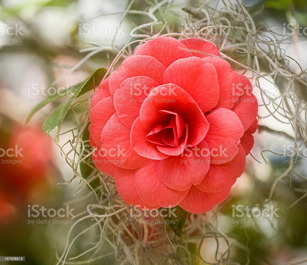 Camellia with Spanish Moss royalty-free stock photo