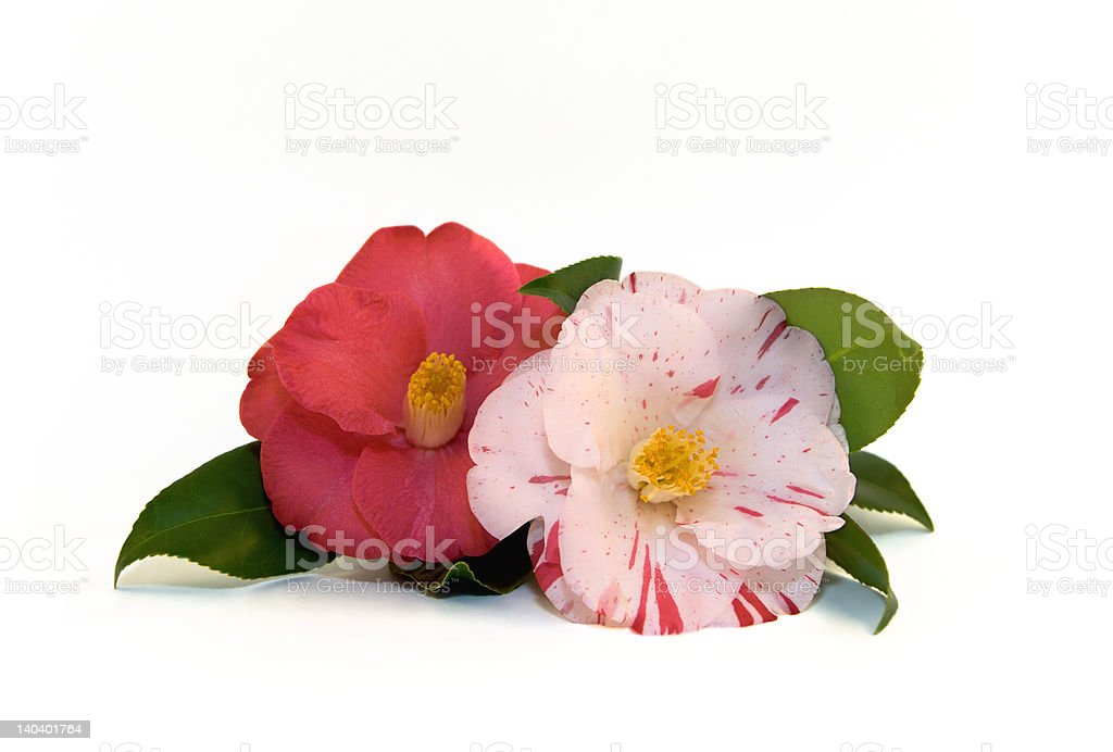 Camellias Isolated royalty-free stock photo