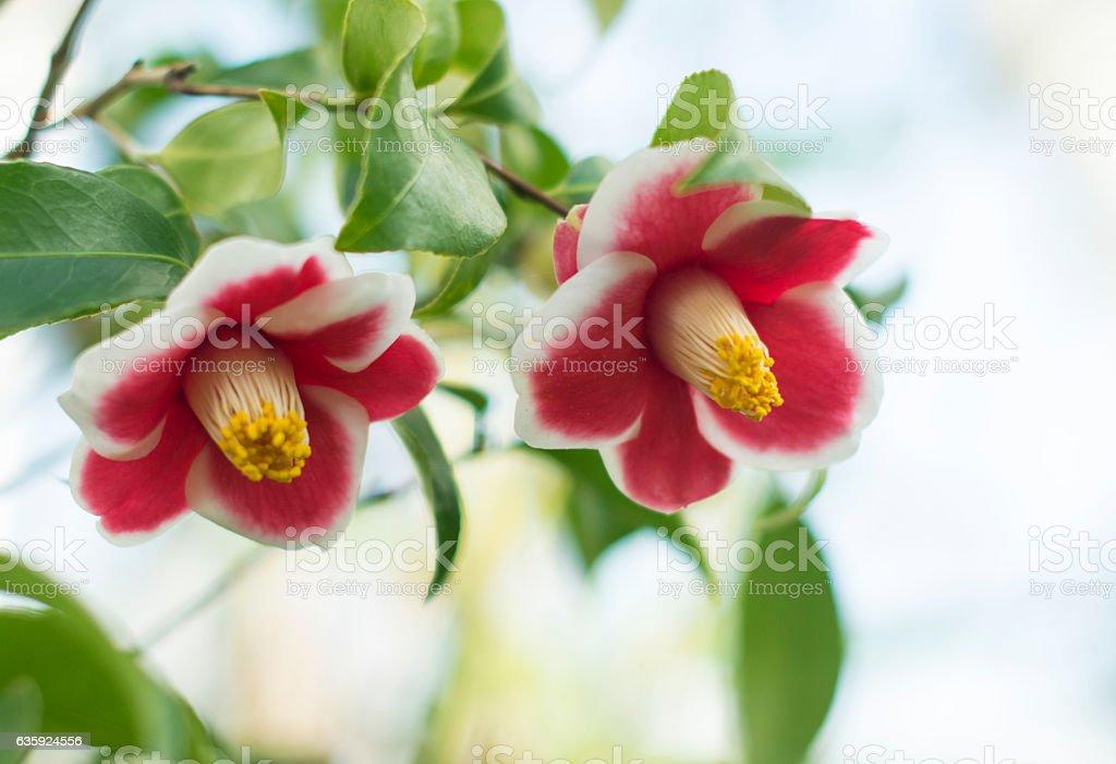 Camellias stock photo