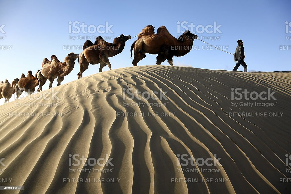 Camels across the dune stock photo