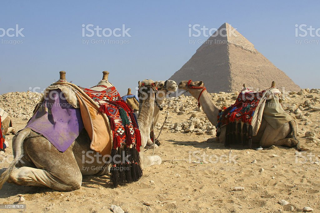 Camels and Pyramid royalty-free stock photo