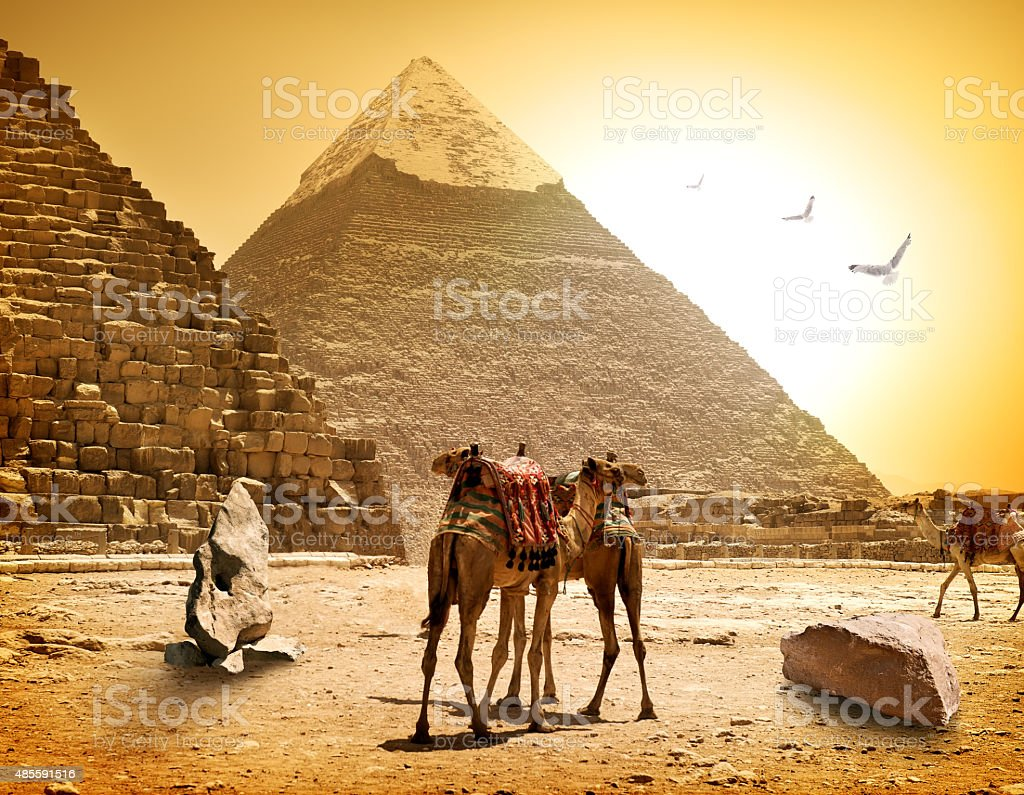Camels and pyramids stock photo