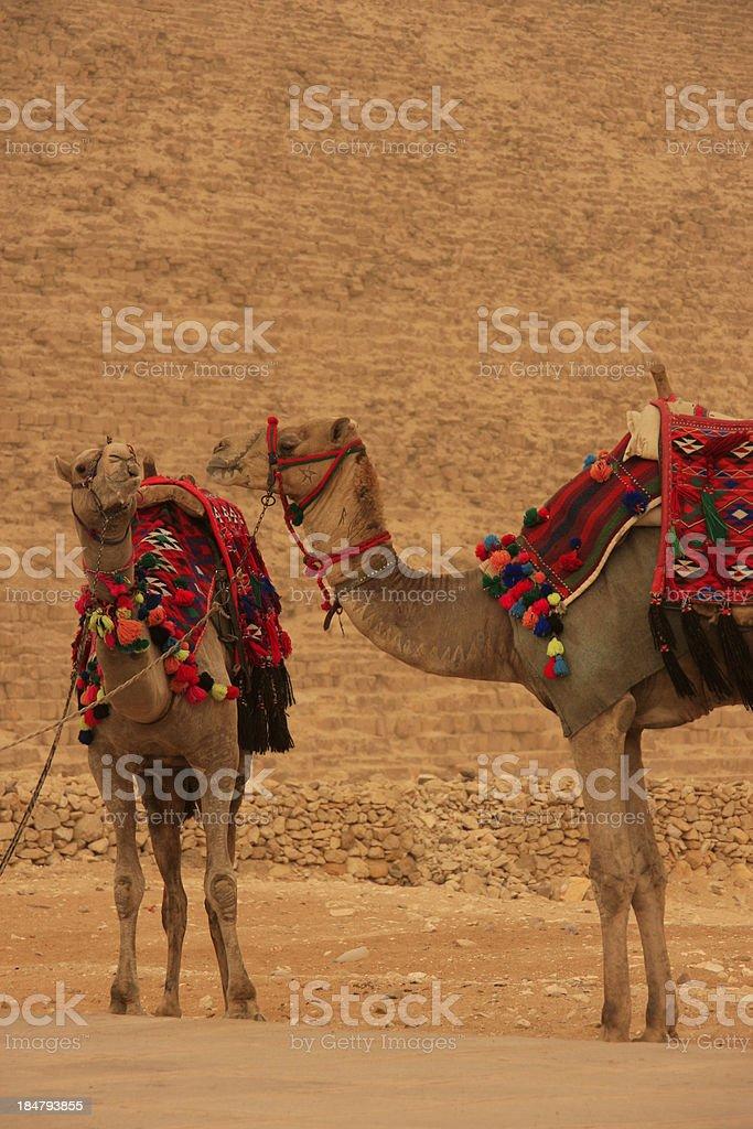 Camels at Giza Pyramids, Cairo, Egypt royalty-free stock photo