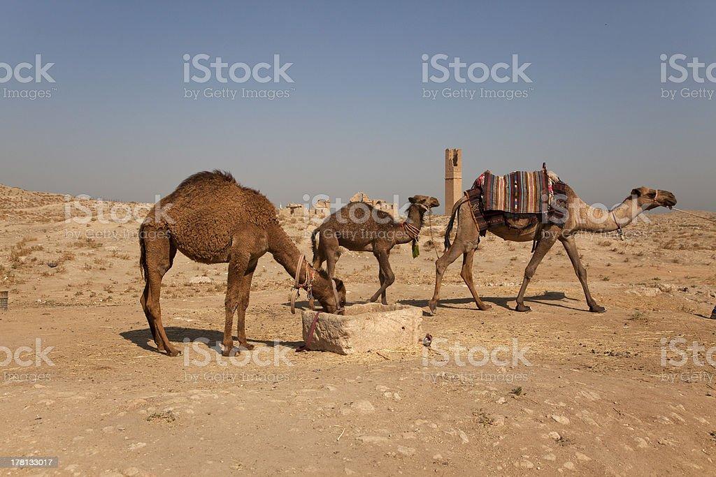 camels at harran urfa turkey stock photo