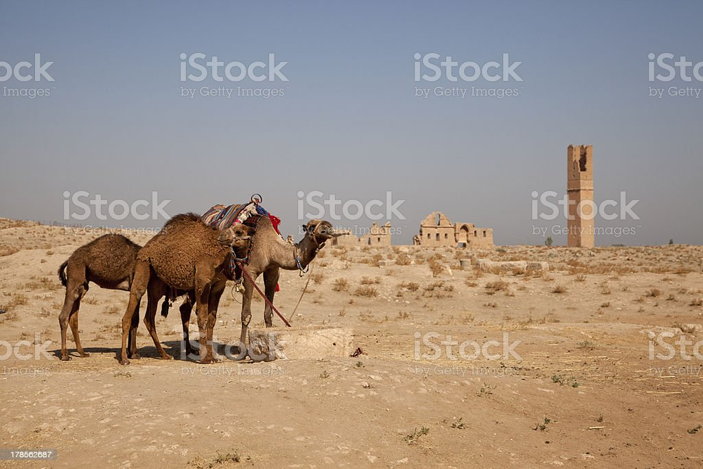 camels at Harran urfa turkey stock photo