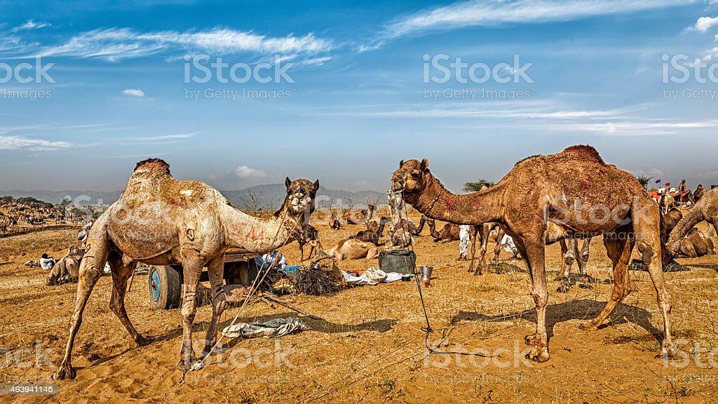 Camels at Pushkar Mela Camel Fair,  India stock photo
