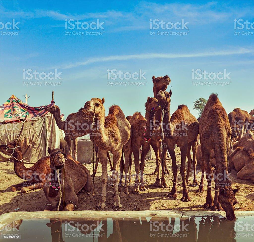 Camels at Pushkar Mela,  Rajasthan, India stock photo