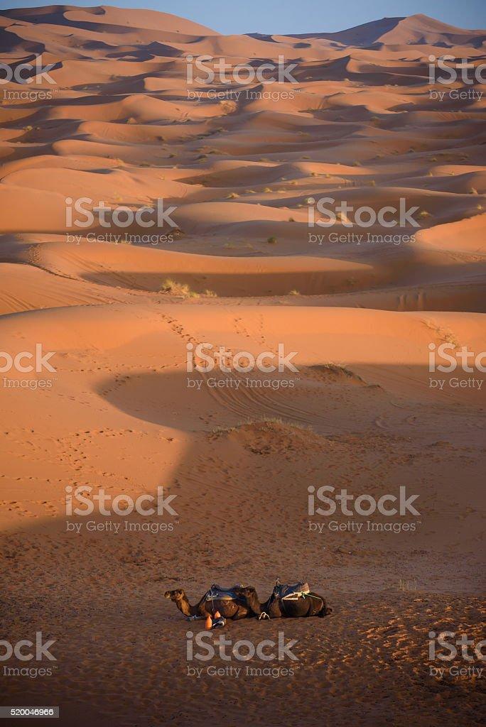 Camels at the dunes, Morocco, Sahara Desert stock photo