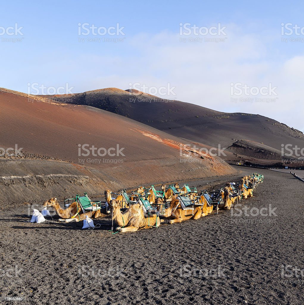 camels at Timanfaya national park in Lanzarote wait for tourists stock photo